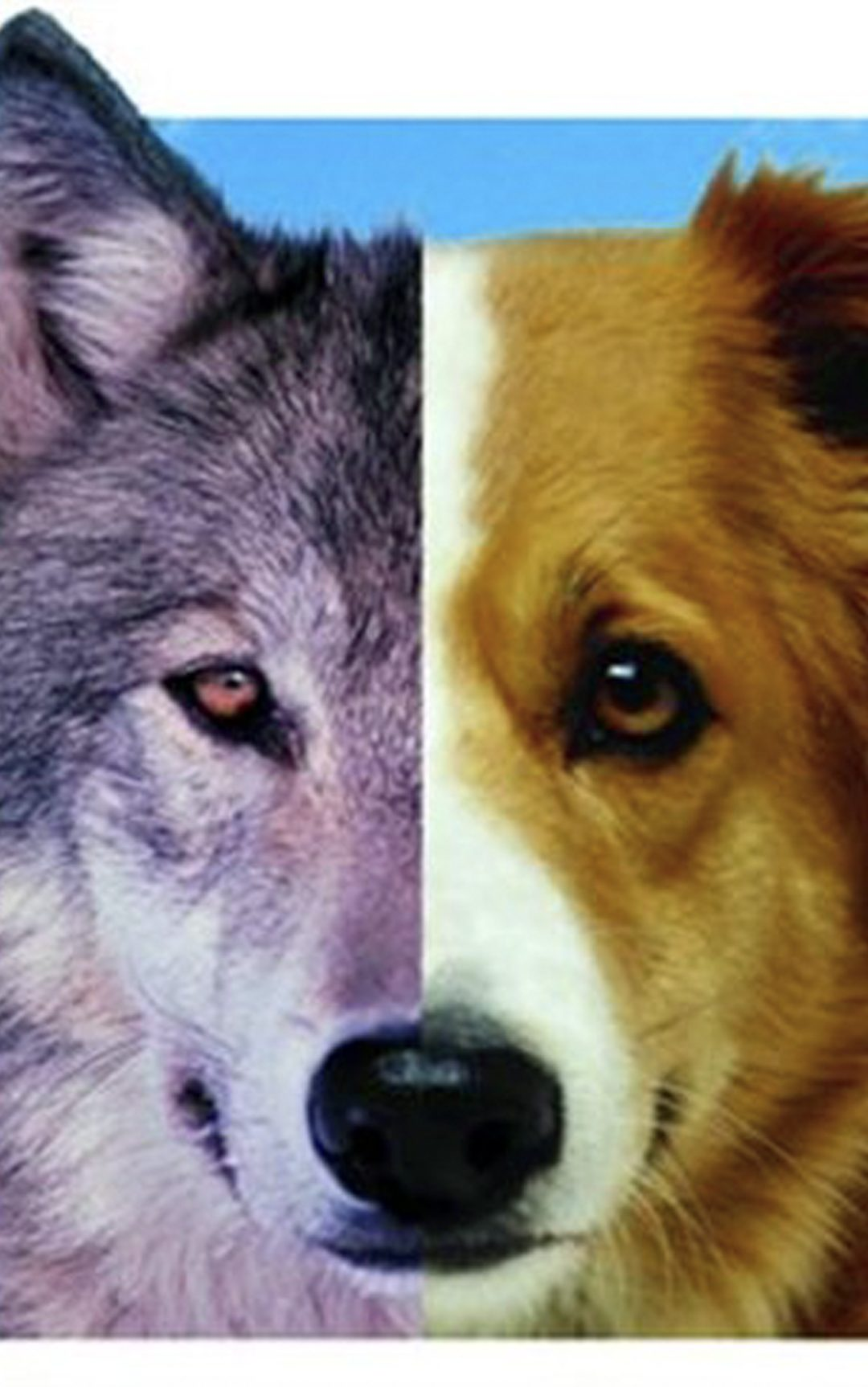 The Evolution of Man's Best Friend: Why You Shouldn't Treat Your Dog Like a Tame Wolf